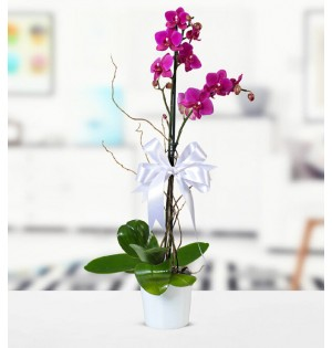 Orkide Mor Tek Dal