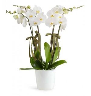 Orkide 4 Dal