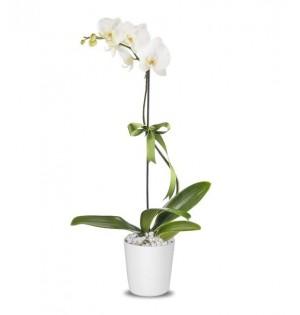 Orkide Tekli